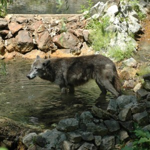 Wildlife Reserve - Wolves - Animals - 2014